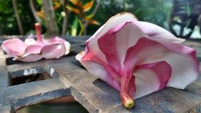 在铁塑象庭院桌上的Pulmaria 免版税库存照片