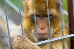 在铁栅栏的猴子 免版税库存图片