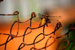 在铁栅格的金黄蜻蜓 库存图片