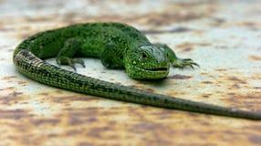 在铁的绿蜥蜴 库存图片