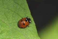 在铁线莲属叶子的瓢虫  免版税图库摄影