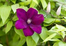 在铁线莲属攀缘藤本的紫色绽放 免版税图库摄影
