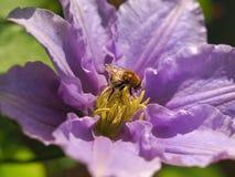 在铁线莲属花的蜂蜜蜂 免版税库存照片