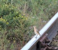 在铁路的路轨的云雀 库存图片