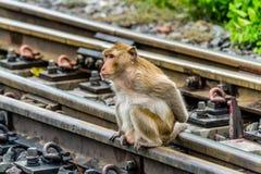 在铁路的猴子, Lopburi泰国 图库摄影
