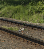 在铁路轨道的鸭子在晴天 免版税库存图片