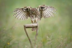 在铁锹把柄的小猫头鹰着陆 库存图片