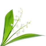 在铃兰花的特写镜头在白色 免版税库存照片