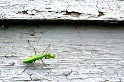 在铅涂料房屋板壁的螳螂 免版税图库摄影