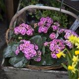 在铝桶的桃红色Kalanchoe在一个柳条筐作为庭院装饰品 免版税库存照片