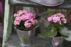在铝桶的桃红色Kalanchoe在木步作为庭院装饰 免版税库存照片
