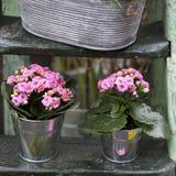 在铝桶的桃红色Kalanchoe在木步作为庭院装饰 图库摄影