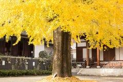 在银杏树树的黄色叶子 免版税库存照片