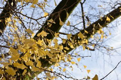 在银杏树树的黄色银杏树叶子 免版税库存图片
