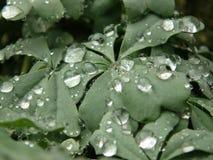 在银色三叶草的雨水小滴宏观射击离开 图库摄影