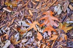 在银色枫叶中的棕色橡木叶子在地面上 免版税图库摄影