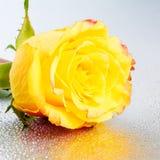 在银色背景的美丽的黄色玫瑰花与露水和r 免版税库存照片