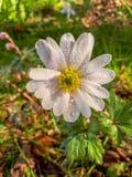 在银莲花属布兰达白色辉煌花的雨珠 免版税库存照片