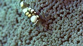 在银莲花属的孔雀尾巴玻璃银莲花属虾Periclimenes brevicarpalis在祖鲁族人海朗芒芽地 影视素材