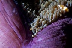 在银莲花属的小丑鱼用在王侯Ampat巴布亚, Indonesi的虾 库存图片