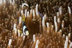在银莲花属的小丑鱼用在王侯Ampat巴布亚, Indonesi的虾 免版税图库摄影