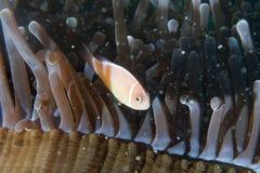 在银莲花属的小丑鱼用在王侯Ampat巴布亚, Indonesi的虾 免版税库存图片
