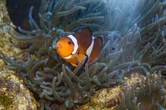 在银莲花属的小丑鱼 图库摄影