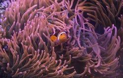 在银莲花属的小丑鱼 免版税库存图片