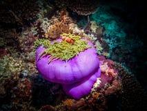 在银莲花属的橙色双锯鱼在马尔代夫的一次潜水的游览时 免版税库存照片