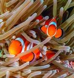 在银莲花属的Clownfish 免版税库存图片
