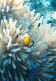 在银莲花属的Clownfish 免版税库存照片