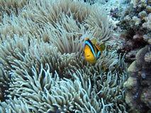 在银莲花属的Clownfish 库存照片