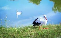 在银行和水鸟天鹅的白色鹳在湖 库存照片