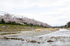 在银行的樱花沿Takano河,京都,日本 库存照片