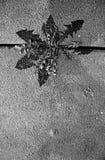 在铺路板之间的死的蒲公英在冬天 免版税图库摄影