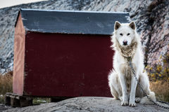 在链子的一只拉雪橇狗 免版税库存图片