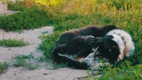 在链子的一条老死的狗在围场谎言在地面上卷起了 股票视频