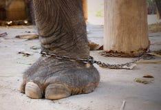 在链子的大象腿 图库摄影