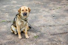 在链子的孤独的狗 被栓的狗不耐烦 复制text_的spase 库存照片