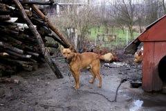 在链子的害怕杂种狗 在一条皮带的狗在有乡区的乡下 库存照片