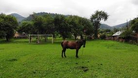 在链子的布朗马,吃草在足球场, 影视素材