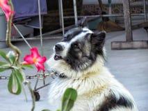 在链子的狗,泰国bangkaew狗坐地面 免版税库存照片