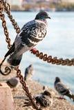 在链子的鸽子 库存照片