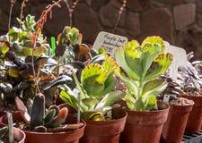 在销售中的多汁植物 免版税库存图片