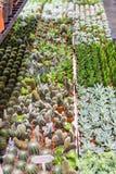 在销售中的开花的仙人掌 免版税库存图片
