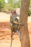 在锡吉里耶岩石的一只无边女帽短尾猿在斯里兰卡 免版税库存图片