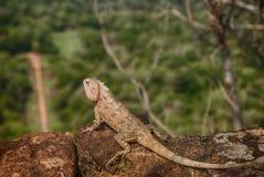 在锡吉里耶的变色蜥蜴 免版税图库摄影