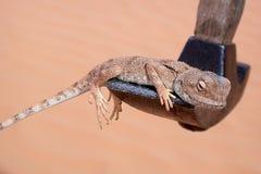 在锤子的蜥蜴 免版税库存图片