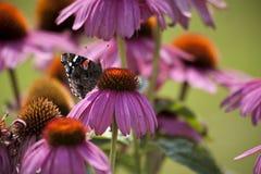 在锥体花的蝴蝶 免版税库存图片
