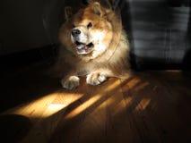 在锥体衣领的狗 免版税库存照片
